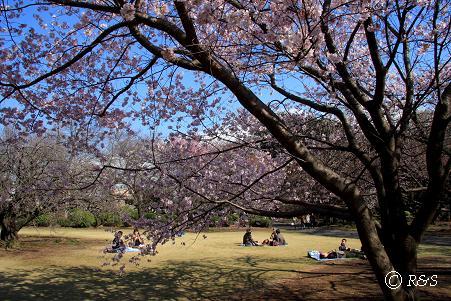 新宿御苑105-桜3IMG_6108