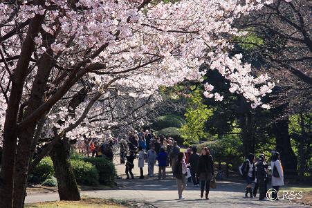 新宿御苑105-桜6IMG_6112