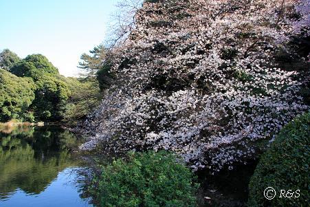 新宿御苑107-コシノヒガンザクラ3IMG_6124