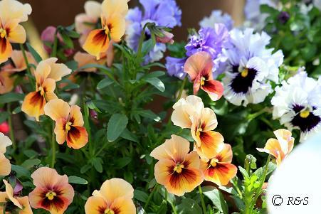 庭の花4IMG_5861