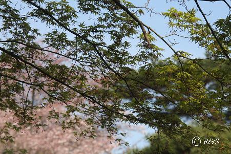 井の頭公園-もみじ4IMG_7799