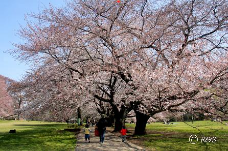 砧公園-さくら34IMG_7706-1