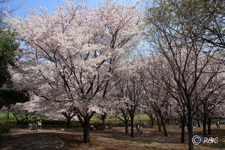 祖師谷公園ーさくら11IMG_6505