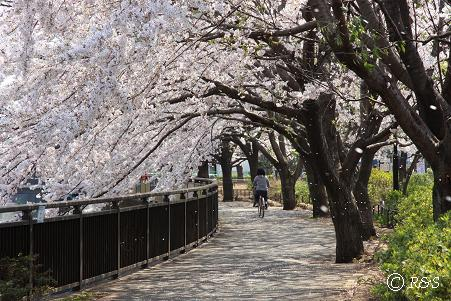 祖師谷公園ーさくら12IMG_6506