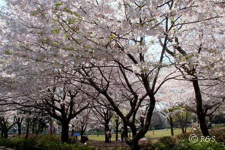 祖師谷公園-さくら17IMG_7988