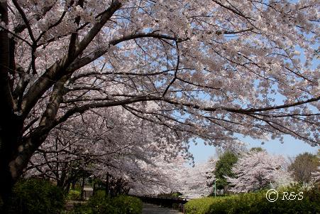 祖師谷公園-さくら19IMG_7993