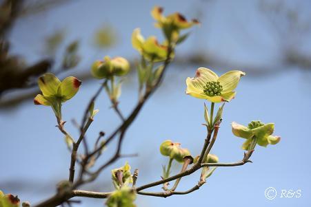 ハナミズキの花1IMG_6572