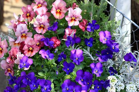 庭の花1IMG_5856