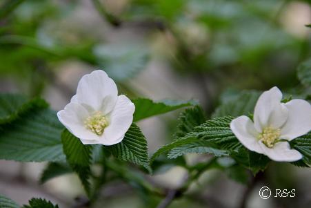 白花ヤマブキ1IMG_8464
