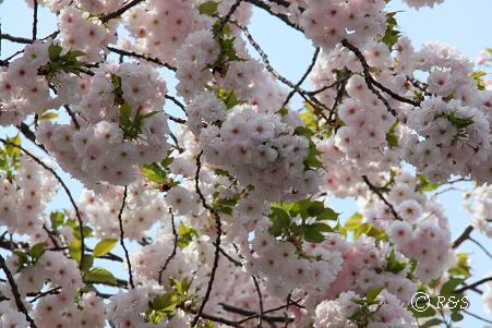 石井前の桜1IMG_8406