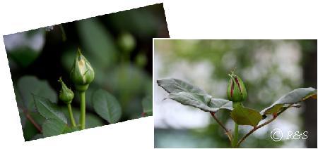 バラの蕾1