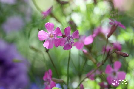 ピンクの花1IMG_9393