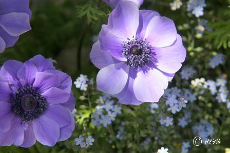花壇のアネモネ2IMG_9436-2