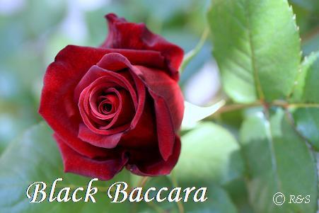 ブラックバカラ320IMG_0244