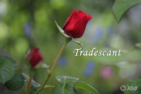 トラディスカント128IMG_1287