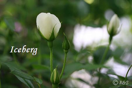 アイスバーグ110IMG_2741