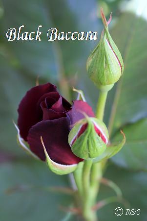 ブラックバカラ308IMG_0182