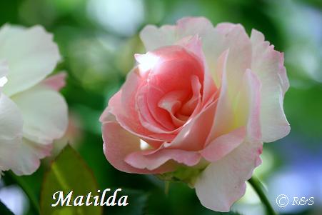 マチルダ506IMG_3256
