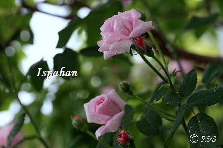 イスパハン404IMG_6519
