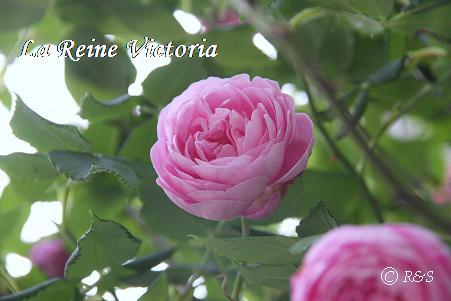 ラレーヌヴィクトリア101IMG_0453