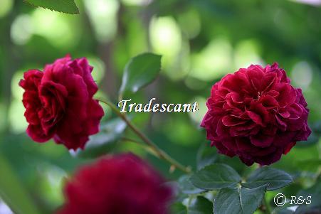 トラディスカント344IMG_4964