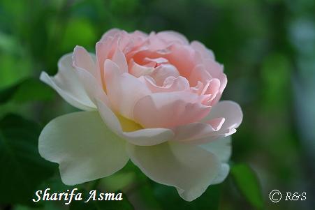 シャリファアスマ340IMG_5802
