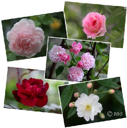 バラ2番花