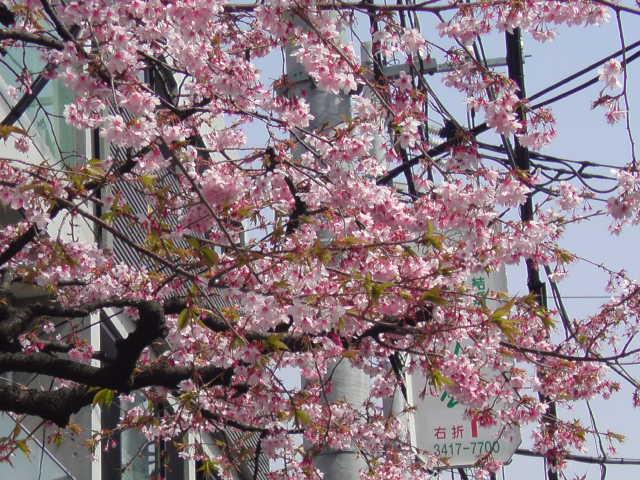 成城にて早咲き桜3