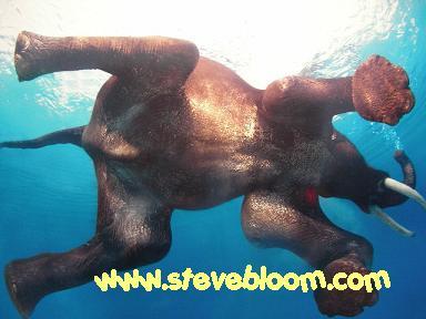 インド象は水泳がだーい好き♪…らしい。