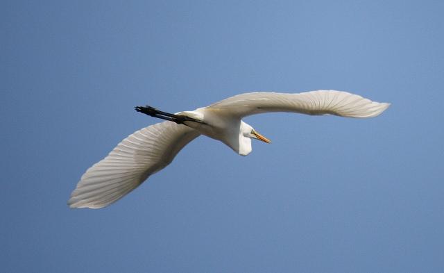 コサギの飛翔-01