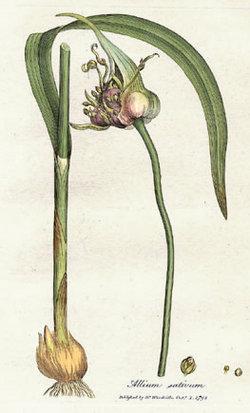 250px-Allium_sativum_Woodwill_1793.jpg
