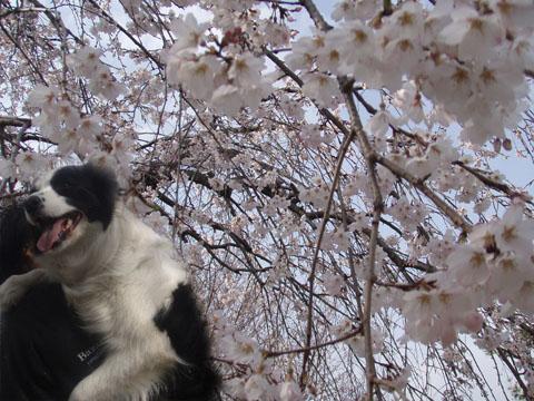 枝垂れ桜と一緒に