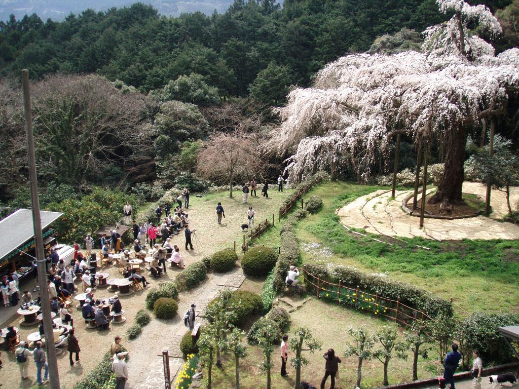 入生田の桜にネネは何処かな?