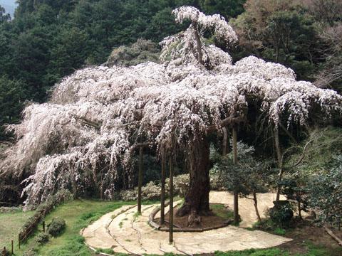 入生田の桜