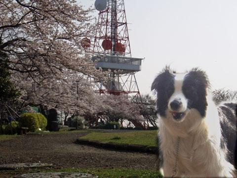 湘南平の桜