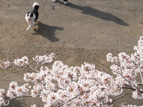 桜の下で走ろう