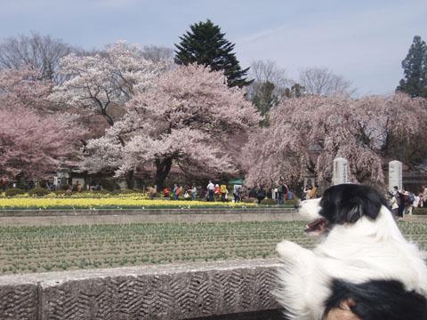 桜が綺麗だね~