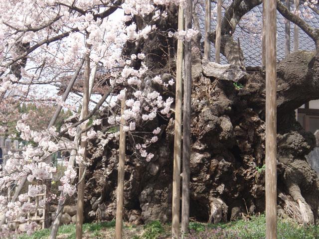 神代桜の幹
