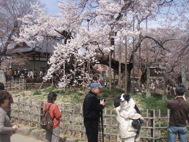 神代桜の前で