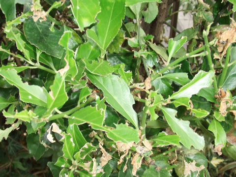 ボロボロの葉っぱ