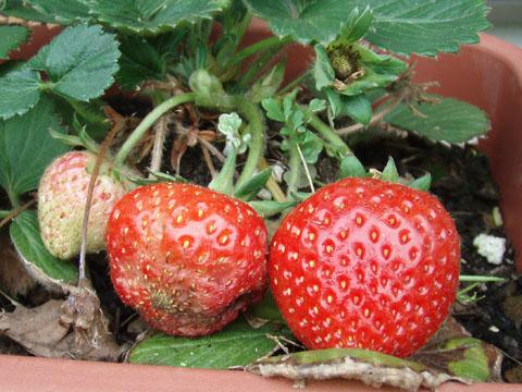 イチゴが熟してきた
