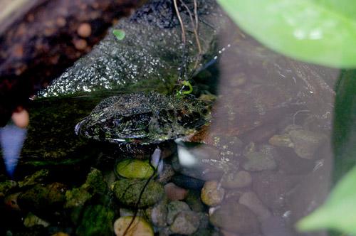 チュウゴクワニトカゲ