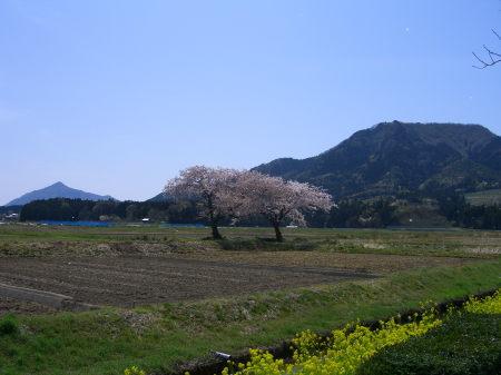 上堰潟公園にある寄り添う桜の木20090418