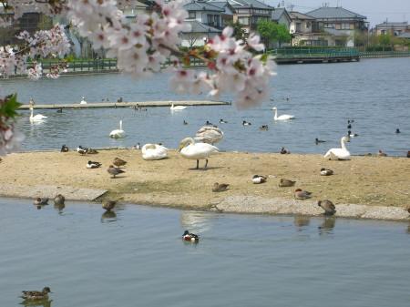 瓢湖の白鳥_20090419_01