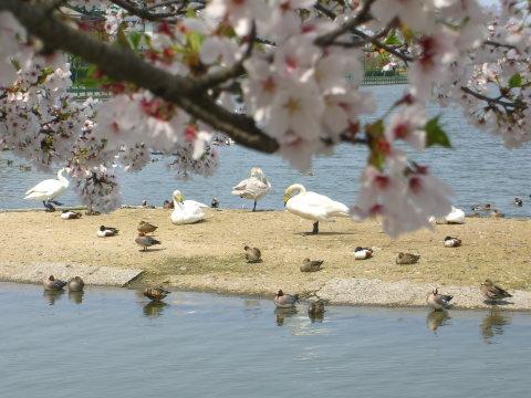 瓢湖の白鳥_20090419_02