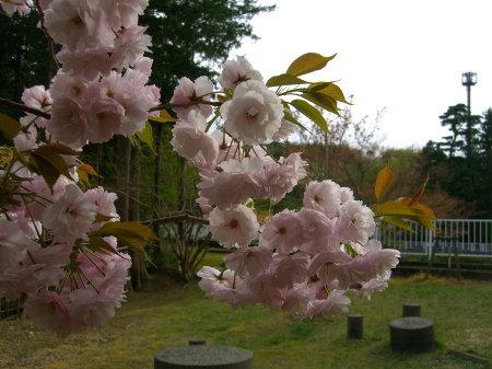 弥彦公園の桜_20090424