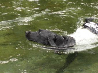泳ぐくろ2