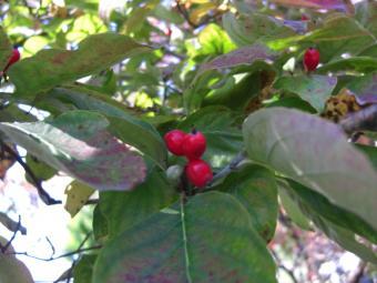 チャマと散歩6 ハナミズキ赤い実