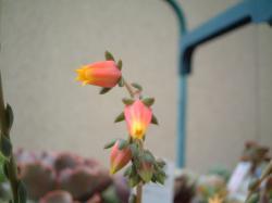 大和錦の花