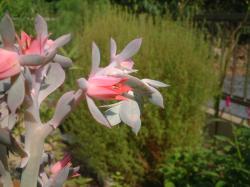 高砂の翁の花
